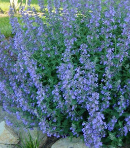 Nepeta Walkers Low Catmint