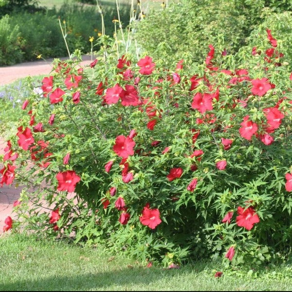 Buy Perennial Hibiscus Lord Baltimore Online Free Shipping Over 99