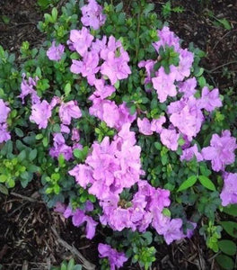 Autumn Lilac Encore Azalea Shrubs