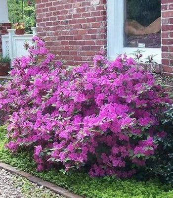 Autumn Royalty Encore Azalea Shrubs For Sale Garden Goods