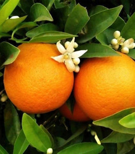 Red Navel Orange Trees