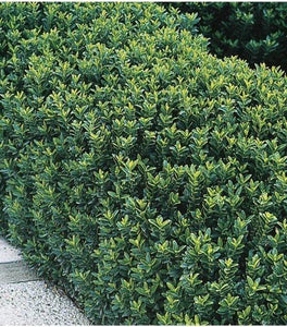 Euonymus Greenspire Shrubs
