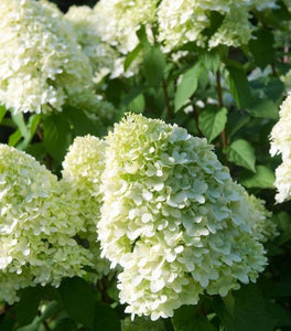 Limelight Hydrangea Shrubs