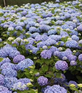 Endless Summer Hydrangea Shrubs