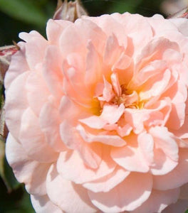 Apricot Drift Rose Bushes