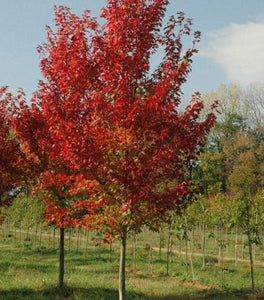 Autumn Flame Maple Trees