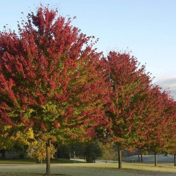 Brandywine Red Maple Trees For Sale Garden Goods Direct
