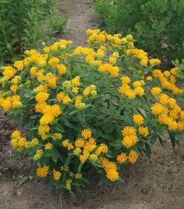 Hello Yellow Butterfly Weed Asclepias