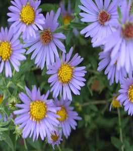 Aster October Skies