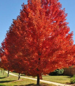 Autumn Blaze Maple Trees