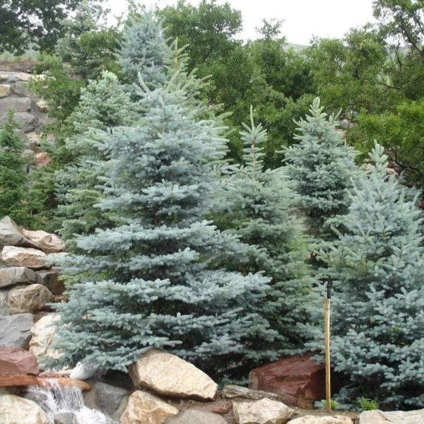 Evergreen Christmas.Baby Blue Spruce Trees