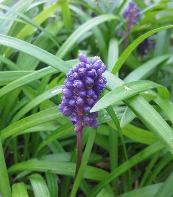 Buy Big Blue Liriope Groundcover Online Free Shipping Over 99