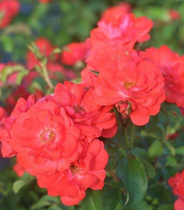 Coral Drift Rose Bushes