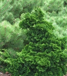 Dwarf Hinoki Cypress Shrubs
