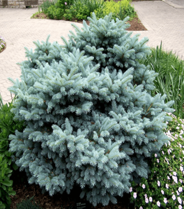 Globe Blue Spruce Shrubs