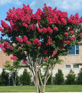 Dynamite Red Crape Myrtle Trees