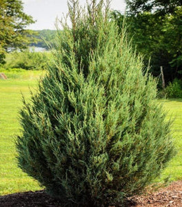 Eastern Red Cedar Trees