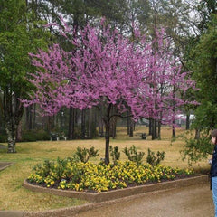Forest Pansy Redbud Tree For Sale Garden Goods Direct