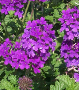 Verbena Homestead Purple Plants