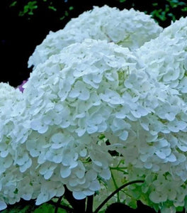 Incrediball Hydrangea Shrubs