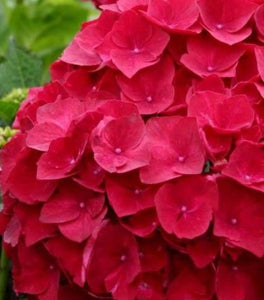 Cardinal Red Hydrangea Shrubs