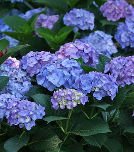 Let's Dance Blue Jangles Hydrangea Shrubs