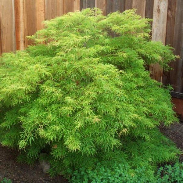Viridis Japanese Maple Trees For Sale Garden Goods Direct