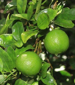 Key Lime Trees