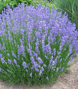 Lavender Phenomenal Plants