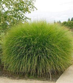 Buy Ornamental Grasses Online   Free Shipping Over $99