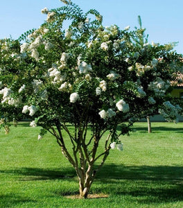 White Crape Myrtle Trees