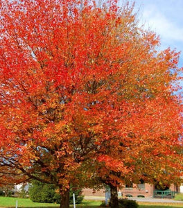 October Glory Maple Trees