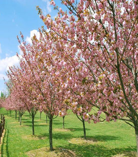 Buy Flowering Cherry Trees Online Free Shipping Over 125