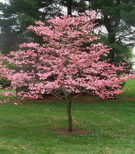 Pink Flowering Dogwood | Cherokee Brave Trees