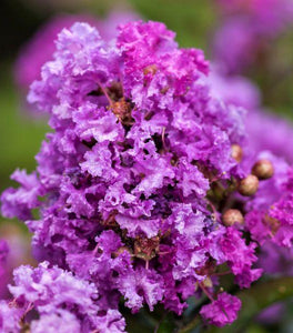 Purple Magic Crape Myrtle Trees
