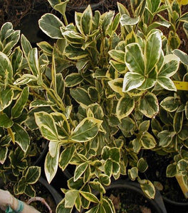 Silver King Euonymus Shrubs