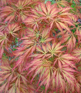 Baby Lace Japanese Maple Trees
