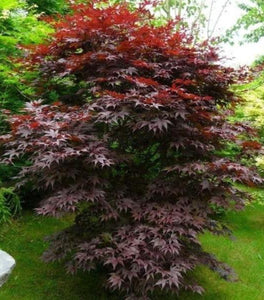Bloodgood Japanese Maple Trees