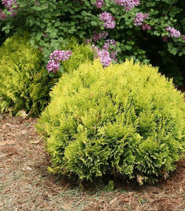 Anna's Magic Ball Arborvitae Shrubs