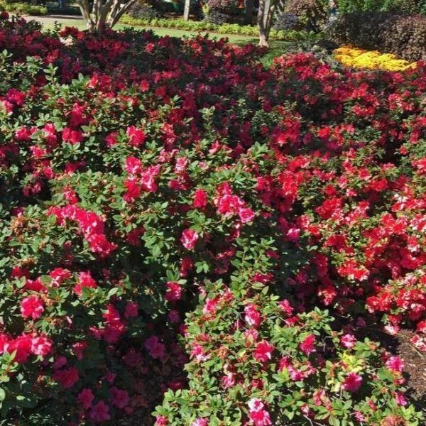 Autumn Cheer Encore Azalea Shrubs For Sale Garden Goods