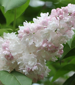 Beauty of Moscow Lilac Shrubs
