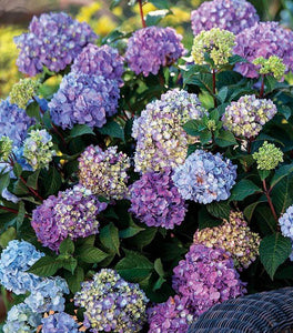 Endless Summer Bloomstruck Hydrangea Shrubs
