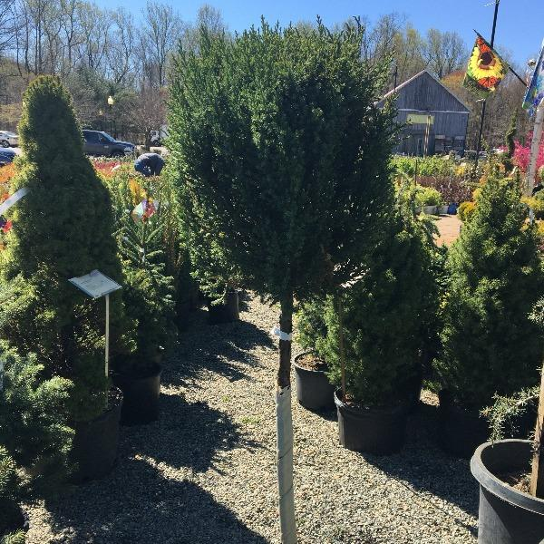 Blue Point Juniper One Ball Topiary Trees Garden Goods Direct