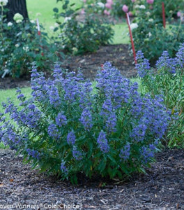 Caryopteris Beyond Midnight Shrubs