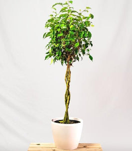 Braided Ficus Benjamina Trees
