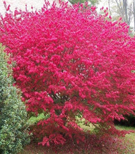 Burning Bush Euonymus Shrubs