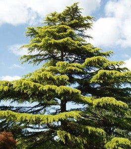 Golden Deodar Cedar Trees