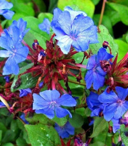 Leadwort Plants