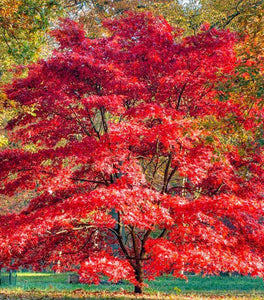 Coral Bark Japanese Maple Trees