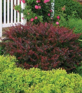 Crimson Pygmy Barberry Shrubs
